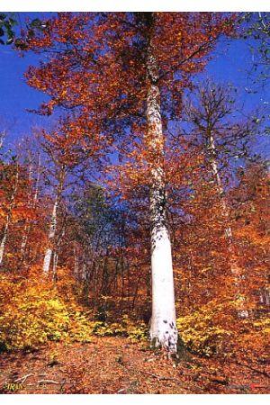 Gilan - Shafarud Forest